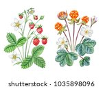 watercolor hand painted berries.... | Shutterstock . vector #1035898096