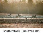 Doe  Deer Grazing On Meadow....
