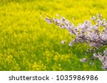 cherry blossoms branch with... | Shutterstock . vector #1035986986