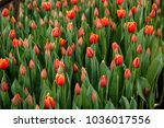 red tulip plantation in the... | Shutterstock . vector #1036017556
