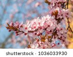 pink japanese cherry blossom in ... | Shutterstock . vector #1036033930