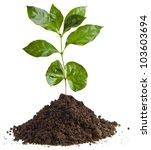 coffee plant tree growing... | Shutterstock . vector #103603694