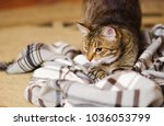 Stock photo playful tabby adult cat playing on the floor on blanket 1036053799