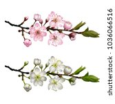 blossoming cherry branch with... | Shutterstock .eps vector #1036066516
