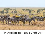 a dazzle of zebras on the... | Shutterstock . vector #1036078504