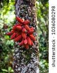 fruit of the kalumpang tree in... | Shutterstock . vector #1036080298