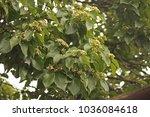Branches Of Japanese Raisin...