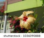 hibiscus. home tea rose. buds...   Shutterstock . vector #1036090888
