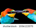 kiss of colored birds is... | Shutterstock . vector #1036122070