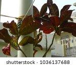 plant of gardening. codiaeum...   Shutterstock . vector #1036137688