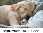 Portrait Of A Sleeping Golden...