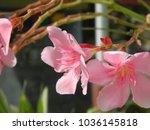 plumeria. delicate pink flowers....   Shutterstock . vector #1036145818