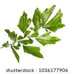 Caryota Obtusa Leaves  Giant...