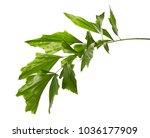 caryota obtusa leaves  giant...   Shutterstock . vector #1036177909