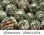 the agave to make tequila in... | Shutterstock . vector #1036212076