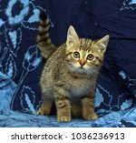 striped kitten on a blue... | Shutterstock . vector #1036236913