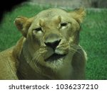 Small photo of smug female lion