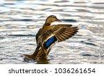 Duck Wing Swing In Lake Water