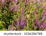 Amorpha Fruticosa Purple...