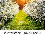 Apple Garden  Blossom On Tree....