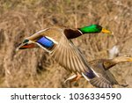 Wild Duck Flies Above The Ground