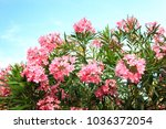 Pink Flowering Bush With...