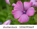 pink blooming annual mallow | Shutterstock . vector #1036393669