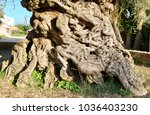 3000 year old olive tree in ano ... | Shutterstock . vector #1036403230