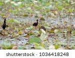 both of glossy ibis  plegabis...   Shutterstock . vector #1036418248