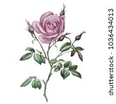 Stock photo pink rose botanical illustration this picture can be used as background decoration or object 1036434013