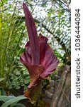 Small photo of Blooming tropical plant Amorphophallus koniac with a large purple flower