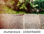 lizard sitting on brown stone... | Shutterstock . vector #1036456600