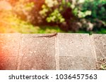 lizard sitting on brown stone... | Shutterstock . vector #1036457563