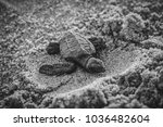 Small photo of Sea Turtle hatchling on the sand.