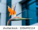 bird of paradise flower or... | Shutterstock . vector #1036492114