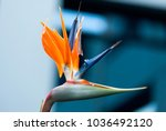 bird of paradise flower or... | Shutterstock . vector #1036492120