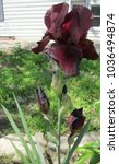 Small photo of This tall bearded purple-red Iris is absolutely stunning in color and stature. It is the largest and most bountiful iris I have, growing to approx three feet tall and putting out enormous flowers.