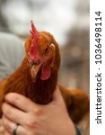 Small photo of Woman holding ISA Brown Hen