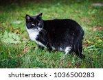 black cat is walking in green... | Shutterstock . vector #1036500283