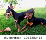 Small photo of dogs pinscher in the grass