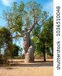 Small photo of Morondava, Madagascar - nov 2016 : in the surroundings of Morondava, the famous Baobabs in love, with the trunks that we adhere with vegetable passion