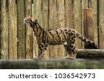 Adult Clouded Leopard