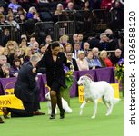 Small photo of NEW YORK CITY - February 14 2018: The 142nd Westminster Kennel Club Dog Show concluded with selection of Best in Show. Afghan put through his paces