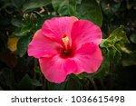 bright red flower of hibiscus ... | Shutterstock . vector #1036615498
