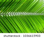 Beautiful Coconut Green Leaves...