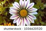 african daisy flowers | Shutterstock . vector #1036620520