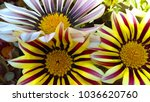 african daisy flowers | Shutterstock . vector #1036620760