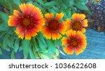 arizona sun flowers | Shutterstock . vector #1036622608