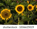 beautiful sunflower in nature...   Shutterstock . vector #1036625029
