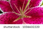 tiger lily flower | Shutterstock . vector #1036632220
